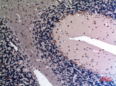 Fig.2. Immunohistochemical analysis of paraffin-embedded rat-brain, antibody was diluted at 1:100.