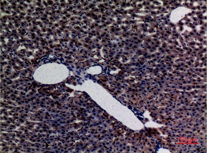 Fig.2. Immunohistochemical analysis of paraffin-embedded rat-liver, antibody was diluted at 1:100.