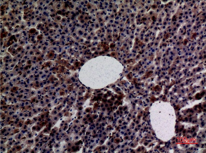 Fig.3. Immunohistochemical analysis of paraffin-embedded rat-liver, antibody was diluted at 1:100.
