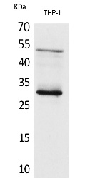 Fig. Western Blot analysis of THP-1 cells using FGF-23 Polyclonal Antibody. Secondary antibody (catalog#: A21020) was diluted at 1:20000.