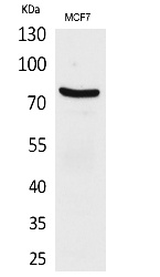 Fig.1. Western Blot analysis of MCF7 cells using CD66e Polyclonal Antibody. Secondary antibody (catalog#: A21020) was diluted at 1:20000.
