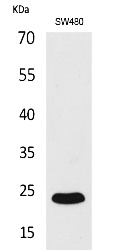 Fig.1. Western Blot analysis of SW480 cells using FGF-9 Polyclonal Antibody. Secondary antibody (catalog#: A21020) was diluted at 1:20000.