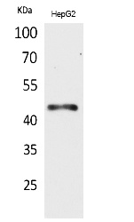 Fig.1. Western Blot analysis of HepG2 cells using HoxD3 Polyclonal Antibody. Secondary antibody (catalog#: A21020) was diluted at 1:20000.