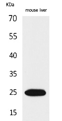 Fig.1. Western Blot analysis of Mouse liver cells using CRP Polyclonal Antibody. Secondary antibody (catalog#: A21020) was diluted at 1:20000.