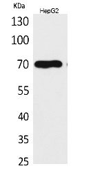 Fig.1. Western Blot analysis of HepG2 cells using Glypican-3 Polyclonal Antibody. Secondary antibody (catalog#: A21020) was diluted at 1:20000.
