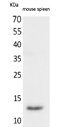 Fig.1. Western Blot analysis of Mouse spleen cells using BLC Polyclonal Antibody. Secondary antibody (catalog#: A21020) was diluted at 1:20000.