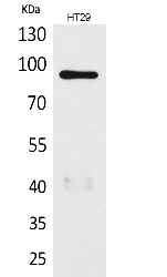 Fig.1. Western Blot analysis of HT29 cells using Neuregulin-2 Polyclonal Antibody. Secondary antibody (catalog#: A21020) was diluted at 1:20000.