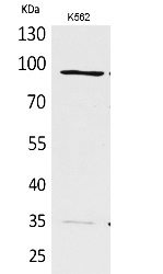 Fig.1. Western Blot analysis of K562 cells using MCM3 Polyclonal Antibody. Secondary antibody (catalog#: A21020) was diluted at 1:20000.