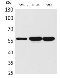 Fig.1. Western Blot analysis of A549, HT29, K562 cells using ERp57 Polyclonal Antibody. Secondary antibody (catalog#: A21020) was diluted at 1:20000.