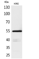 Fig. Western Blot analysis of K562 cells using CD55 Polyclonal Antibody. Secondary antibody (catalog#: A21020) was diluted at 1:20000.