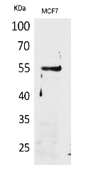 Fig.1. Western Blot analysis of MCF7 cells using CD85g Polyclonal Antibody. Secondary antibody (catalog#: A21020) was diluted at 1:20000.