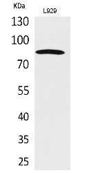 Fig.1. Western Blot analysis of L929 cells using PDGFR-α Polyclonal Antibody. Secondary antibody (catalog#: A21020) was diluted at 1:20000.