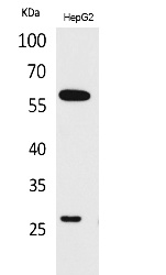 Fig.1. Western Blot analysis of HepG2 cells using GGT1 Polyclonal Antibody. Secondary antibody (catalog#: A21020) was diluted at 1:20000.