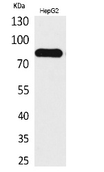Fig. Western Blot analysis of HepG2 cells using CD248 Polyclonal Antibody. Secondary antibody (catalog#: A21020) was diluted at 1:20000.