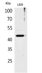 Fig.1. Western Blot analysis of L929 cells using Siglec-5/14 Polyclonal Antibody. Antibody was diluted at 1:1000. Secondary antibody (catalog#: A21020) was diluted at 1:20000.