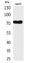 Fig.1. Western Blot analysis of HepG2 cells using CD229 Polyclonal Antibody. Secondary antibody (catalog#: A21020) was diluted at 1:20000.