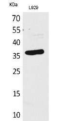 Fig.1. Western Blot analysis of L929 cells using CD300g Polyclonal Antibody. Secondary antibody (catalog#: A21020) was diluted at 1:20000.