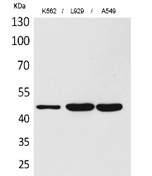 Fig.1. Western Blot analysis of K562,  L929, A549 cells using CD158z Polyclonal Antibody. Secondary antibody (catalog#: A21020) was diluted at 1:20000.