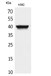 Fig.1. Western Blot analysis of K562 cells using CXCR-3 Polyclonal Antibody. Secondary antibody (catalog#: A21020) was diluted at 1:20000.