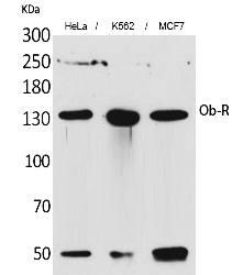 Fig. Western Blot analysis of hela, K562,  MCF7 cells using Ob-R Polyclonal Antibody. Antibody was diluted at 1:1000. Secondary antibody (catalog#: A21020) was diluted at 1:20000.