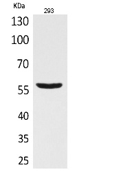 Fig.1. Western Blot analysis of 293 cells using CD276 Polyclonal Antibody. Secondary antibody (catalog#: A21020) was diluted at 1:20000.