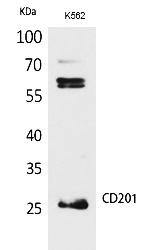 Fig.1. Western Blot analysis of K562 cells using CD201 Polyclonal Antibody. Antibody was diluted at 1:500. Secondary antibody (catalog#: A21020) was diluted at 1:20000.