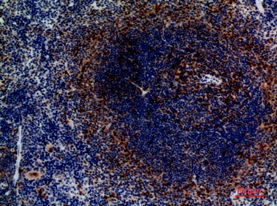 Fig.3. Immunohistochemical analysis of paraffin-embedded Mouse-spleen, antibody was diluted at 1:100.