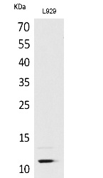 Fig. Western Blot analysis of L929 cells using MCP-2 Polyclonal Antibody. Secondary antibody (catalog#: A21020) was diluted at 1:20000.