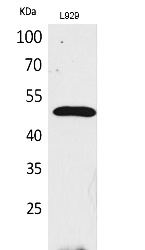 Fig.1. Western Blot analysis of L929 cells using VEGF-C Polyclonal Antibody. Antibody was diluted at 1:2000. Secondary antibody (catalog#: A21020) was diluted at 1:20000.