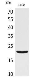 Fig. Western Blot analysis of L929 cells using IL-29 Polyclonal Antibody. Secondary antibody (catalog#: A21020) was diluted at 1:20000.