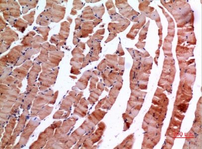 Fig.4. Immunohistochemical analysis of paraffin-embedded Mouse-muscle, antibody was diluted at 1:100.