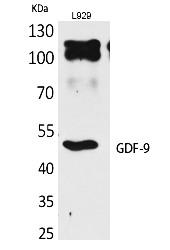 Fig. Western Blot analysis of L929 cells using GDF-9 Polyclonal Antibody. Antibody was diluted at 1:1000. Secondary antibody (catalog#: A21020) was diluted at 1:20000.
