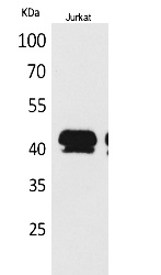 Fig.1. Western Blot analysis of Jurkat cells using BMP-8A Polyclonal Antibody. Secondary antibody (catalog#: A21020) was diluted at 1:20000.
