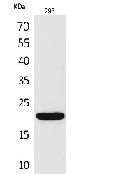 Fig.1. Western Blot analysis of 293 cells using CMTM6 Polyclonal Antibody. Secondary antibody (catalog#: A21020) was diluted at 1:20000.