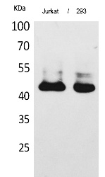 Fig.1. Western Blot analysis of Jurkat, 293 cells using SCCA1/2 Polyclonal Antibody. Secondary antibody (catalog#: A21020) was diluted at 1:20000.