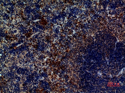 Fig.5. Immunohistochemical analysis of paraffin-embedded Mouse-spleen, antibody was diluted at 1:100.