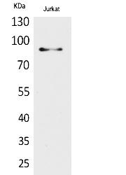 Fig.1. Western Blot analysis of Jurkat cells using HSP 90 Polyclonal Antibody. Secondary antibody (catalog#: A21020) was diluted at 1:20000.