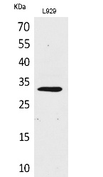 Fig.1. Western Blot analysis of L929 cells using KLF13 Polyclonal Antibody. Secondary antibody (catalog#: A21020) was diluted at 1:20000.