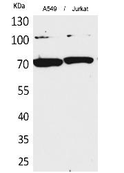 Fig. Western Blot analysis of A549, Jurkat cells using Ku-70 Polyclonal Antibody. Secondary antibody (catalog#: A21020) was diluted at 1:20000.