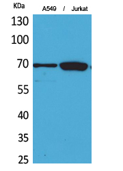 Fig.1. Western Blot analysis of A549, Jurkat cells using Ku-70 Polyclonal Antibody. Secondary antibody (catalog#: A21020) was diluted at 1:20000.