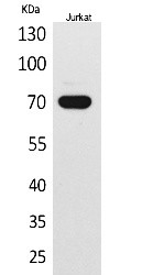 Fig.1. Western Blot analysis of Jurkat cells using Ku-70 Polyclonal Antibody. Secondary antibody (catalog#: A21020) was diluted at 1:20000.