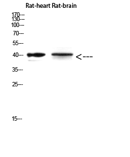 Fig.4. Western Blot analysis of Rat-heart Rat-brain using Cerberus Polyclonal Antibody diluted at 1:500. Secondary antibody (catalog#: A21020) was diluted at 1:20000.