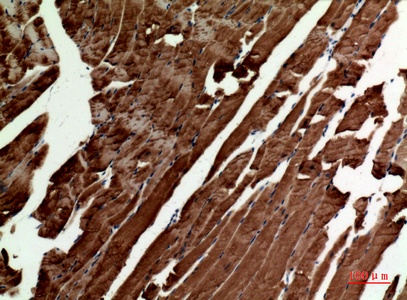 Fig.2. Immunohistochemical analysis of paraffin-embedded Mouse-muscle, antibody was diluted at 1:100.