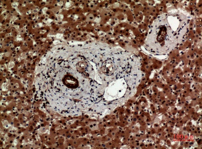 Fig.4. Immunohistochemical analysis of paraffin-embedded human-liver, antibody was diluted at 1:100.