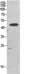 Fig. Western Blot analysis of HepG2 cells using EF-1 α1/2 Polyclonal Antibody. Secondary antibody (catalog#: A21020) was diluted at 1:20000.