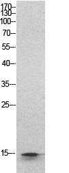 Fig.1. Western Blot analysis of hela cells using Histone H2B Polyclonal Antibody. Secondary antibody (catalog#: A21020) was diluted at 1:20000.