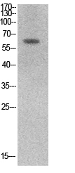 Fig. Western Blot analysis of hela cells using Ku-70 Polyclonal Antibody. Secondary antibody (catalog#: A21020) was diluted at 1:20000.