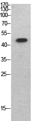 Fig.1. Western Blot analysis of SKW3 cells using p53 Polyclonal Antibody. Secondary antibody (catalog#: A21020) was diluted at 1:20000.