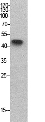 Fig.1. Western Blot analysis of hela cells using p53 Polyclonal Antibody. Secondary antibody (catalog#: A21020) was diluted at 1:20000.