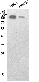 Fig.1. Western Blot analysis of hela, HepG2 cells using SREBP-1 Polyclonal Antibody. Secondary antibody (catalog#: A21020) was diluted at 1:20000.